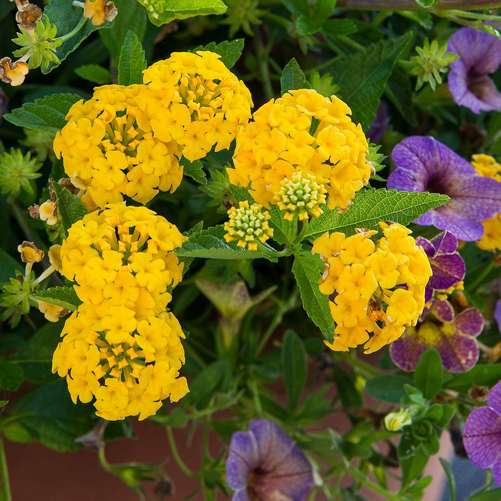 Lantana Camara Bandana Gold White Flower Farm