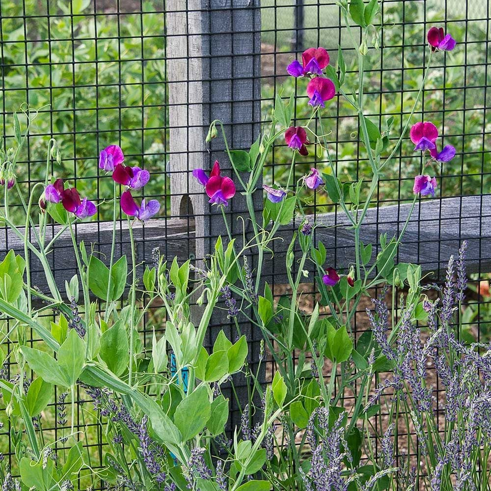 Sweet Pea Trellis Ideas Part - 42: White Flower Farm