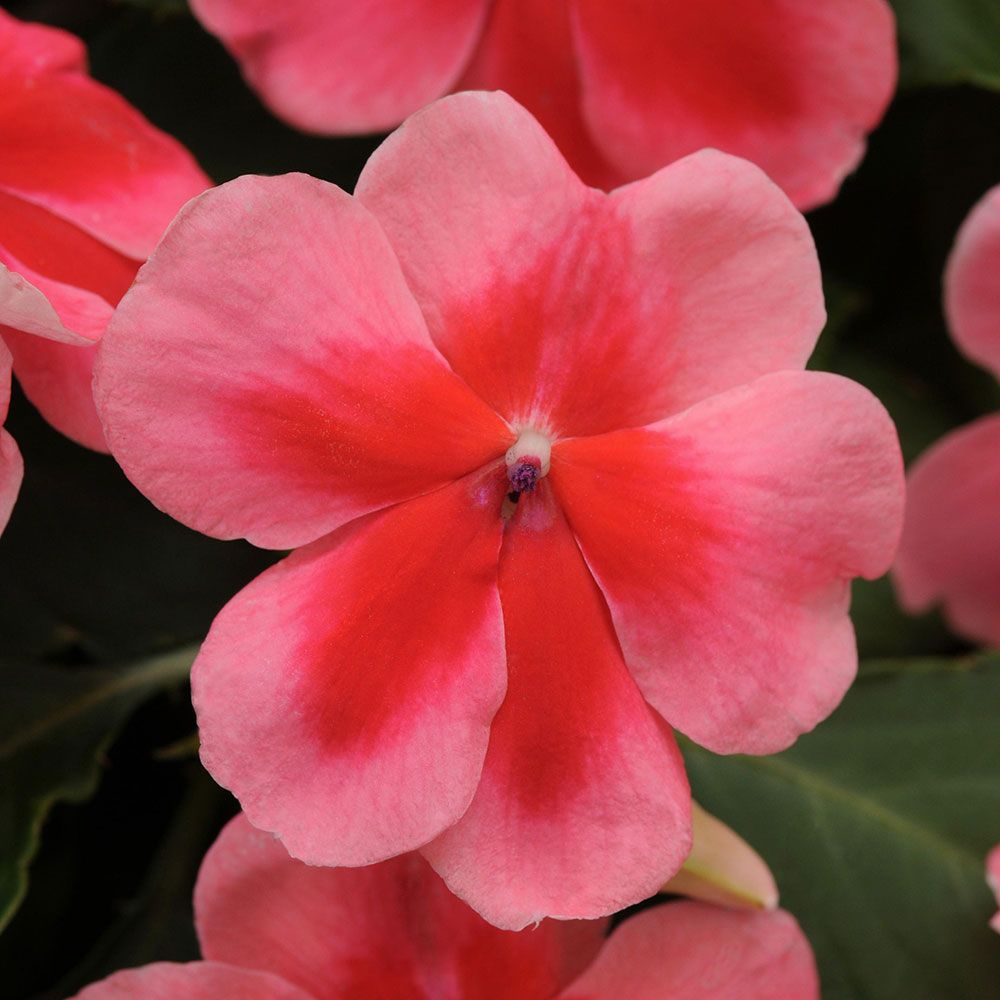 Impatiens Patchwork™ Pink Shades