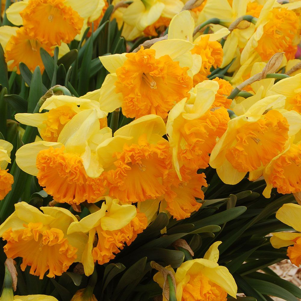 Hard-to-Find Daffodils