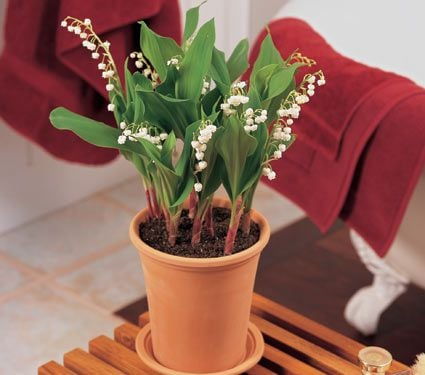 Lily-of-the-Valley for Indoors