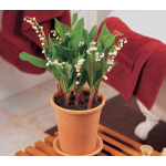 February - Lily-of-the-Valley