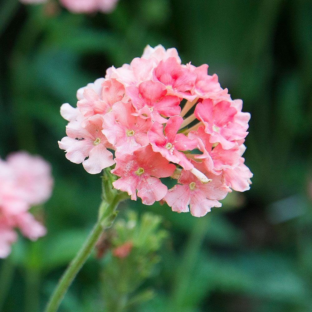 Verbena Empress® Flair Peach