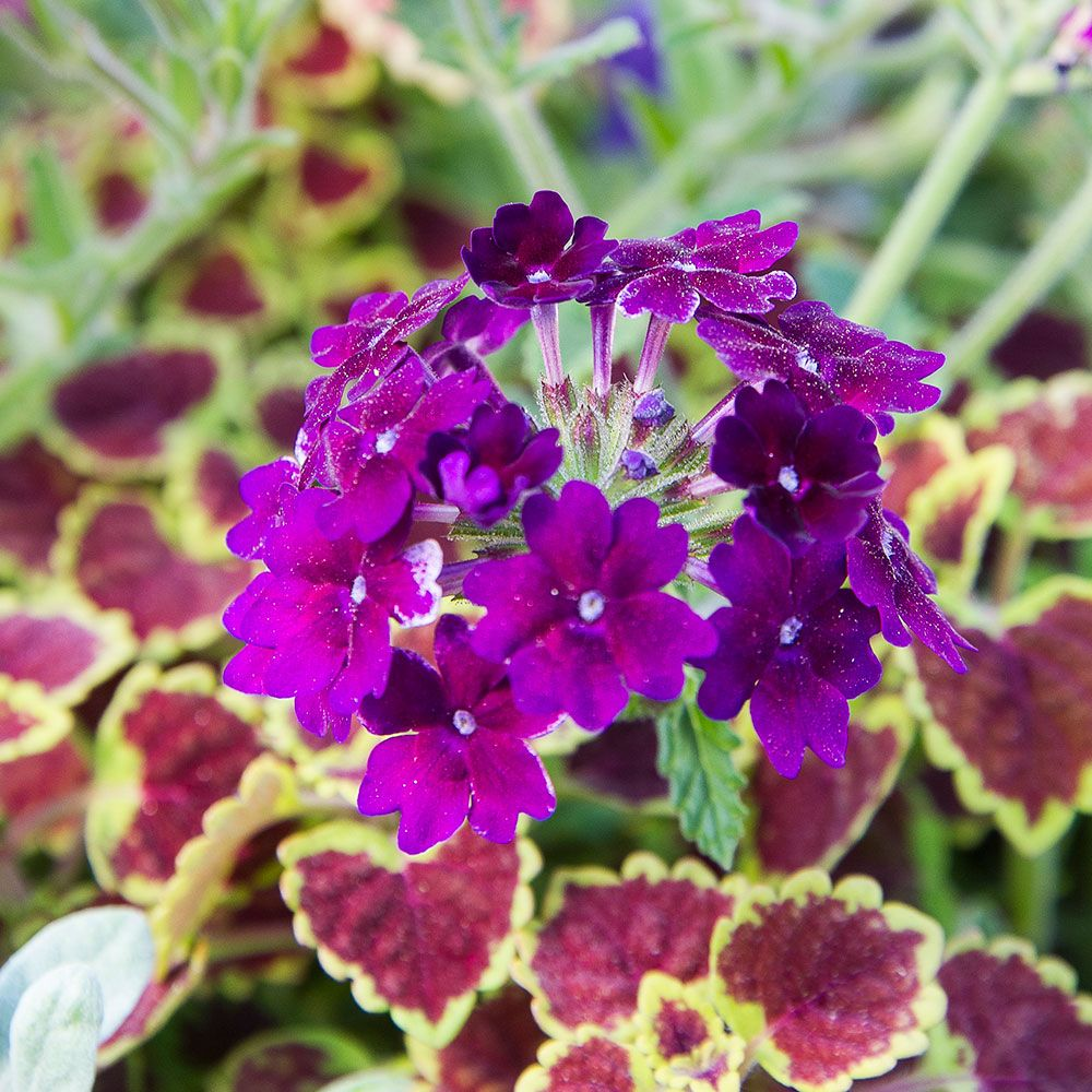 Verbena Lanai® Deep Purple