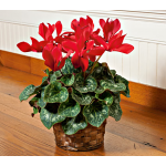 Cyclamen Halios® Bright Scarlet in 6