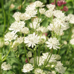 Astrantia major 'White Giant'