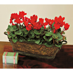 Trio of Red Cyclamen, three pots in 13