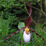 Cypripedium 'Frosch's Mountain King'