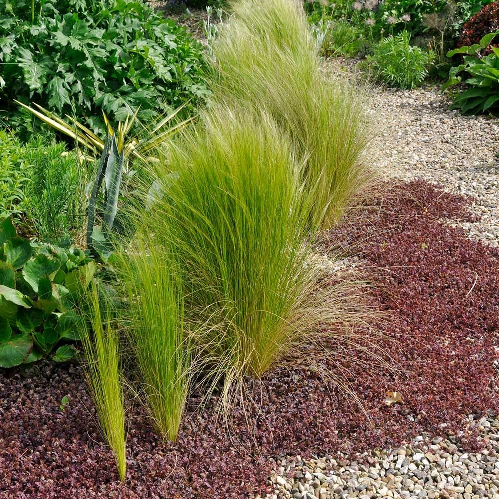 Ornamental grass nassella tenuissima white flower farm for Small decorative grasses