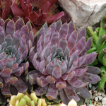 Sempervivum Chick Charms® Berry Blues™