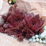 Sempervivum Chick Charms® Chocolate Kiss™