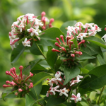 Abelia mosanensis Sweet Emotion®