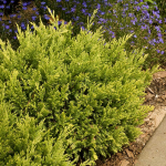 Juniperus horizontalis Good Vibrations® Gold