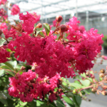 Lagerstroemia indica Infinitini Watermelon®