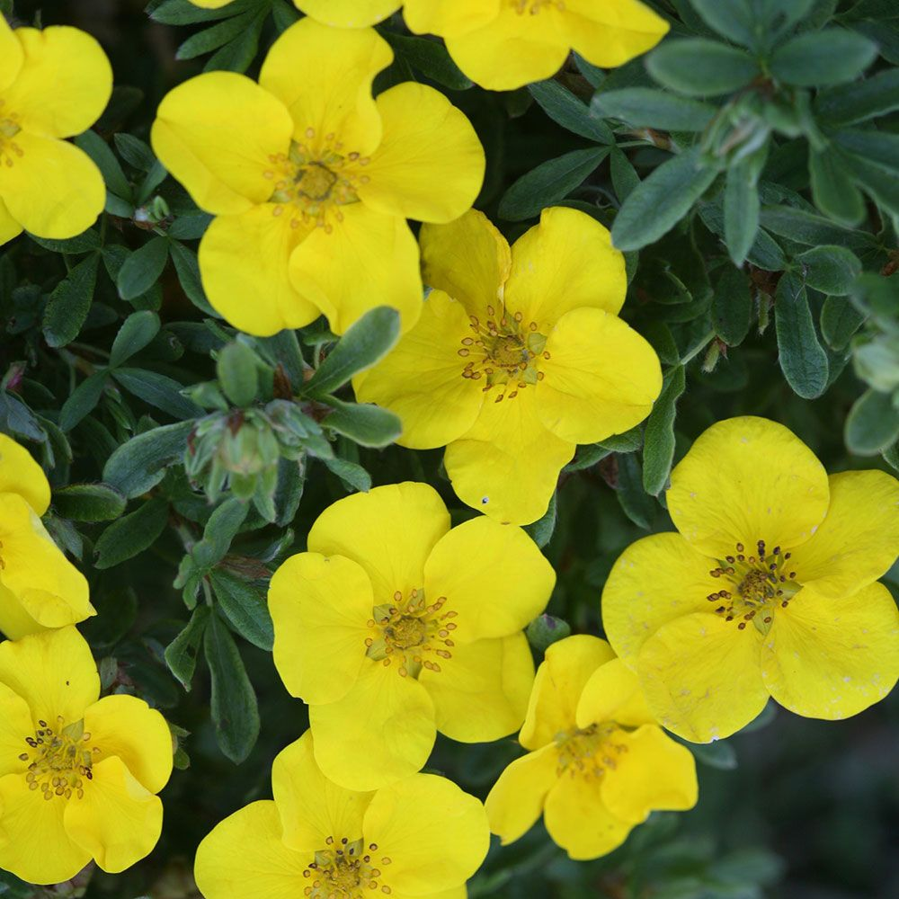 Potentilla fruticosa Happy Face® Yellow