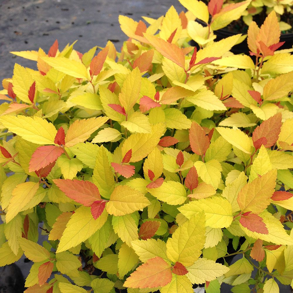 Spiraea japonica Double Play® Candy Corn™