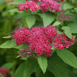 Spiraea japonica Double Play® Red