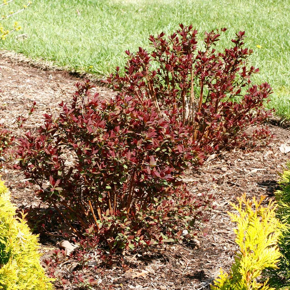 Spiraea japonica Double Play® Red | White Flower Farm