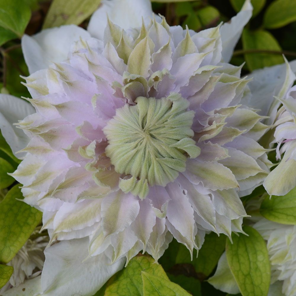 Clematis 'Moonglow'