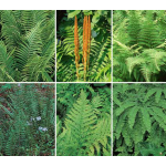 Native Fern Sampler of 6 Different Varieties