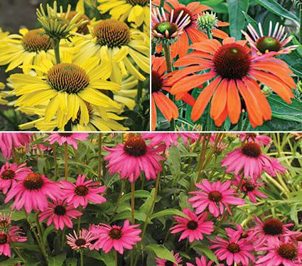 Echinacea Butterfly Trio
