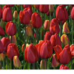 All Tulips