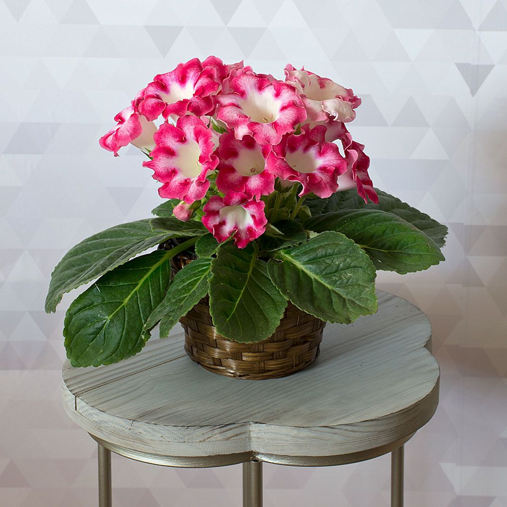 Gloxinia 'Orchestra Bell Pink' in woven basket