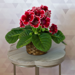Gloxinia 'Orchestra Bell Red' in woven basket