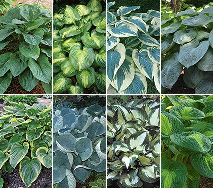 World of Hosta Collection