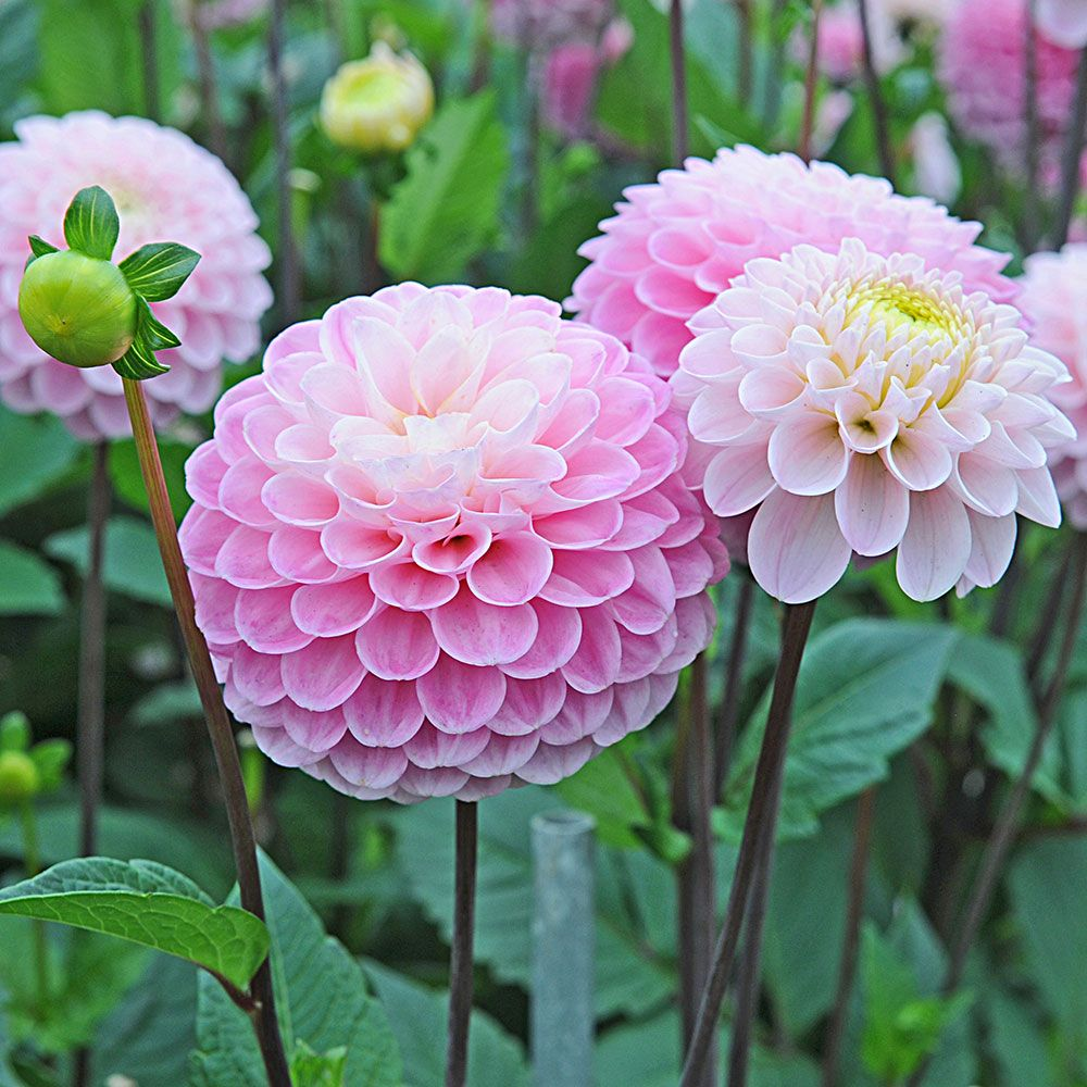 Dahlia wizard of oz white flower farm dahlia wizard of oz izmirmasajfo