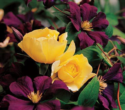 Garnets and gold br rose amp clematis collection white flower farm garnets and gold rose clematis collection mightylinksfo