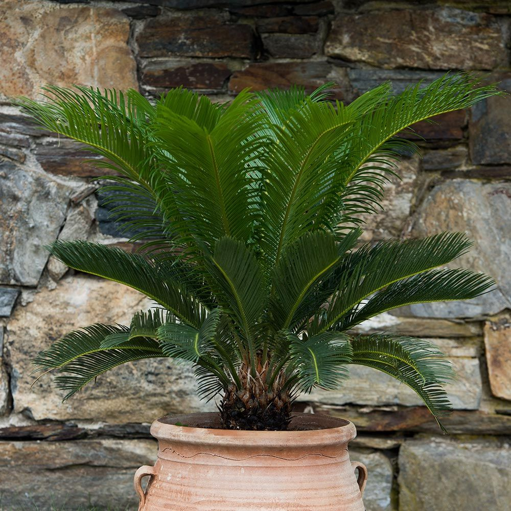King Sago Palm Plant Only