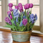 Spring Sonata Bulb Collection, 36 bulbs in large metal cachepot