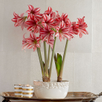 Amaryllis 'Pajama Party'