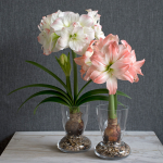 Amadeus Amaryllis Duo, 2 bulbs, 2 glass vases, and river pebbles