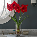 Amaryllis 'Red Label'