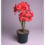 Amaryllis Ballerina®, one bulb in a nursery pot