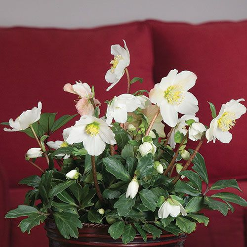 Christmas Rose in Wicker Basket