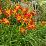 Hemerocallis (Daylily) 'All American Chief'