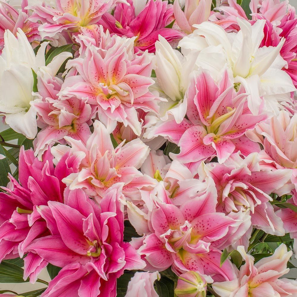 lily flower Shop our complete selection of lilies, including asiatics, orientals & orienpets, trumpets, species, custom-blended mixes & collections, and more.