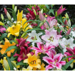 All Lilies