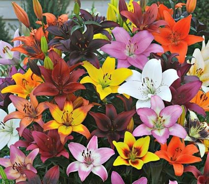 Lily Mixes & Collections
