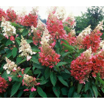 Customer-Favorite Shrubs