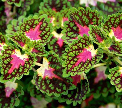 Annuals for Colorful Foliage