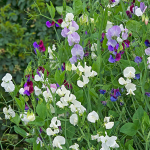Sweet Pea Jewels of Albion Mix (Lathyrus odoratus)