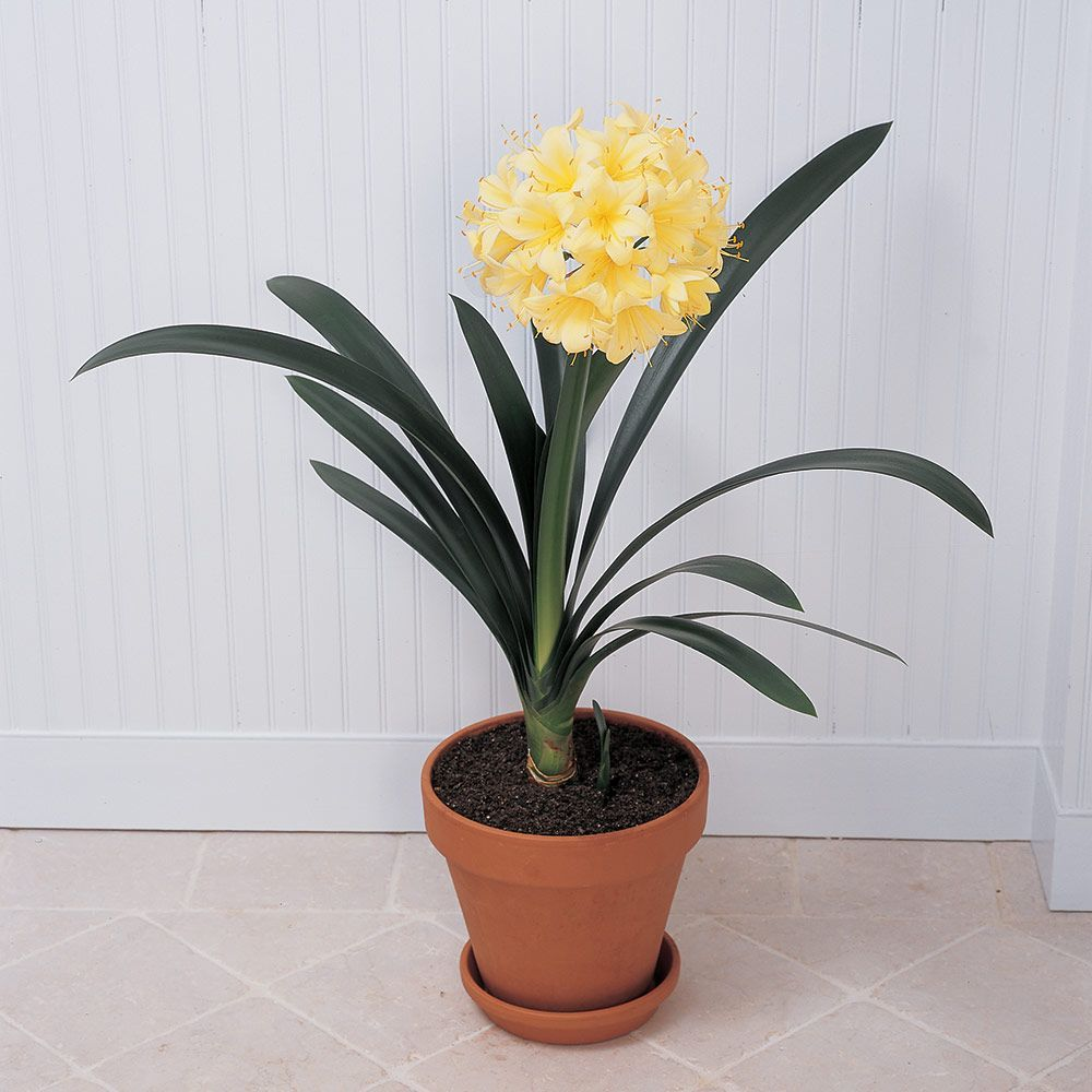Exclusive Clivia Plants White Flower Farm