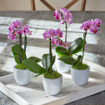 Mini Orchid Quartet in 3