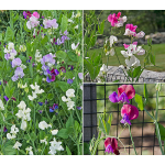 Fragrant Sweet Pea Collection (Lathyrus odoratus)