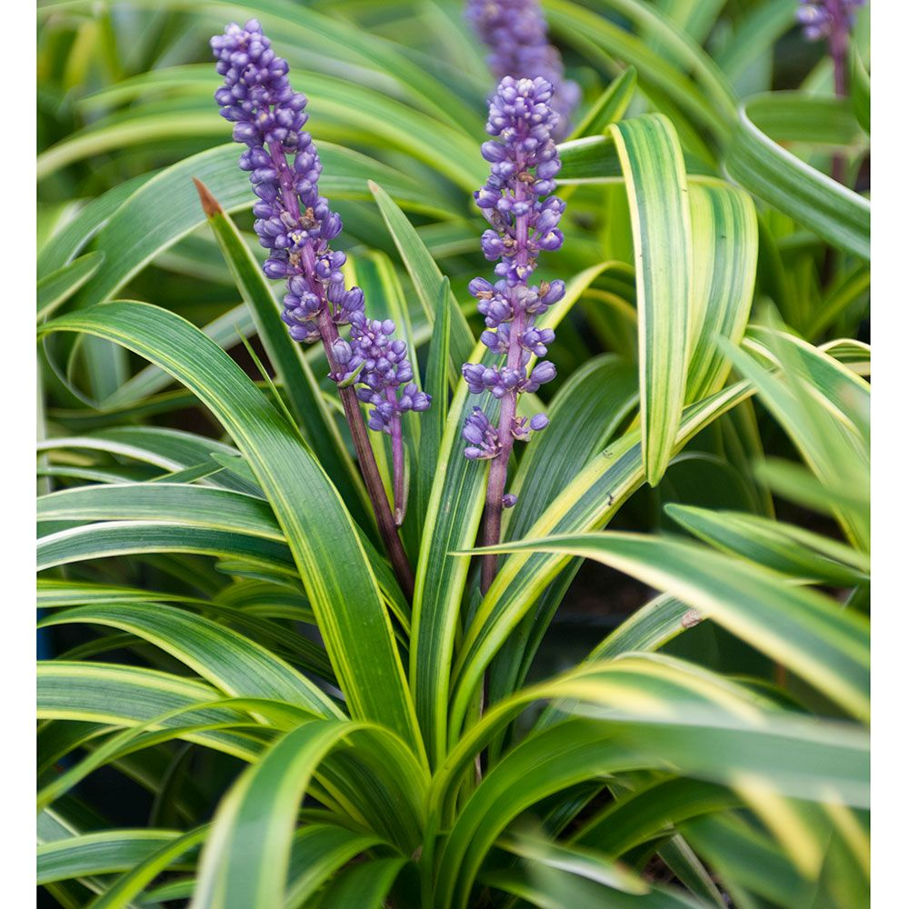 Liriope Muscari Variegata White Flower Farm