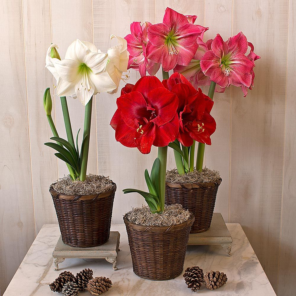 Colorful Trio of South African Amaryllis